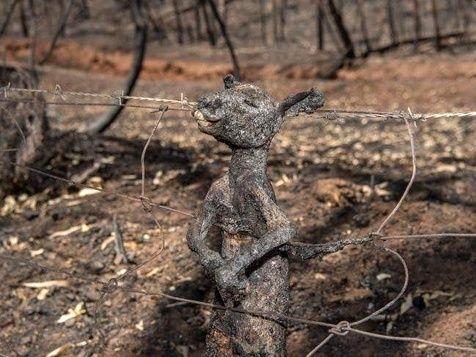Αυστραλία πυρκαγιά μωρό κανκουρό