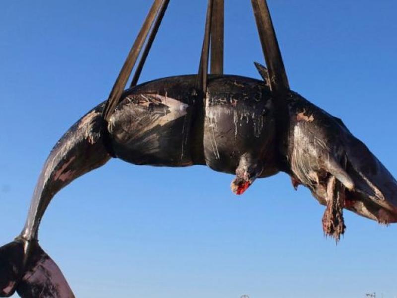 Νεκρή έγκυος φάλαινα - 22 κιλά πλαστικού στο στομάχι της