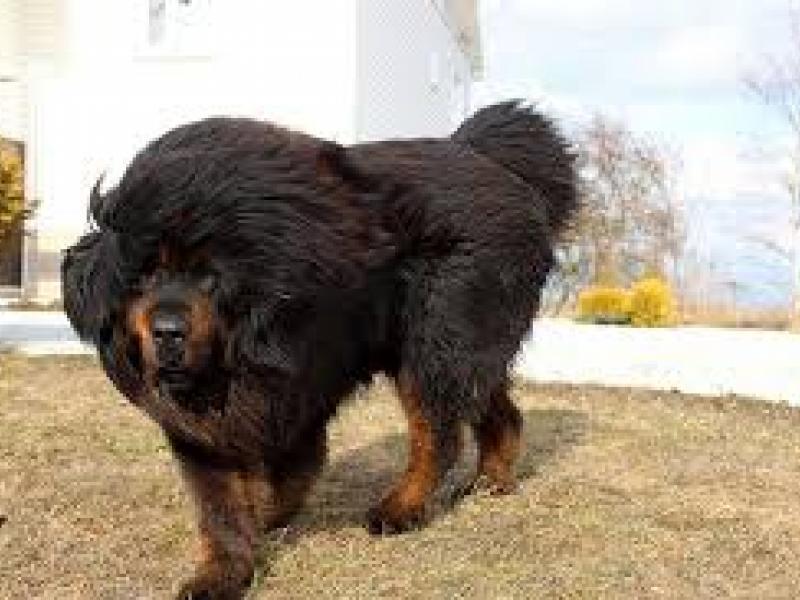 τριχωτό μαύρο σκύλα τραχύ Πεολειξία